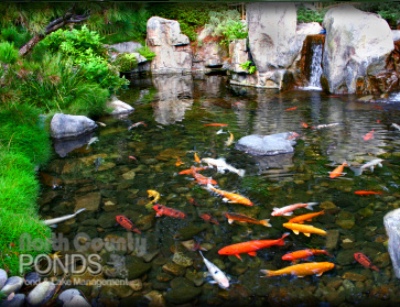 Pond cleaning north county san diego koi pond for Koi pond upkeep